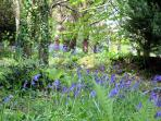 Bluebells flowering in the garden area next to The Cabin