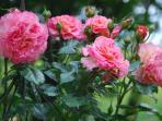 Westerländer Rose