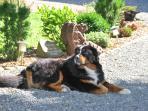 Unser Bernersennenhund Caruso