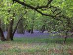Beautiful bluebells, wild garlic and primroses to be seen in nearby nature reserves.