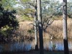 Egrets, herons, frogs, turtles and other wildlife can be viewed from the screened deck