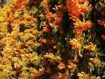 Flowering Frigiliana