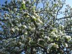 Apple trees in garden flowering in Spring