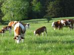 Cows in a pasture in the vicinity of the apartment.