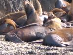 Local sea lion colony, south of Punta Lobos.