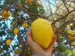 Make your own home lemon juice from our lemontree