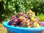 Make your own natural grape juice