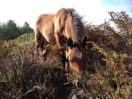 New Forest ponies will come close
