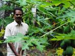 Our farm helper Asokan in the papaya farm