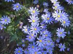 Blue Daises