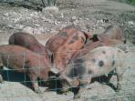 Some of our pigs enjoying their breakfast. Would you like to feed them?