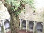 Yew tree - circa 500 years old - Muckross Abbey, Killarney