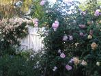 Hebe Cottage Rose Garden - Mid November