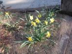 Spring daffodils await you!