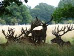 Wild deer in Bushy Park