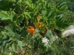 C'est la saison des courgettes au potager!
