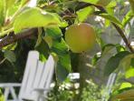 Bodensee - Apfelparadies