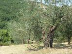 Hamac under the Olive trees for moments of peace