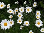 Wild daisies is one of the flowers deer don't find tasty