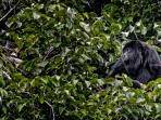 Local Howler Monkey