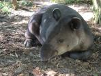 Tapir - Balize National Animal