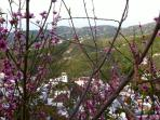 Almond trees in bloom. Here Frigiliana glimpsed in the background / Almendros en flor.