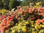 Stunning rhodedendrons and azaleas at Sheringham Park