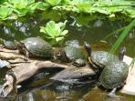 turtles in fish pond