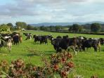 Beautiful countryside views - cows grazing with the backdrop of Nagle View mountains