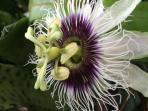 Before the passion fruit there is a wonderful flower