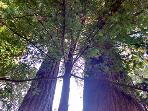 The Sandy Star, Looking into the Redwoods