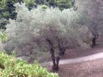 Our majestic olive grove.