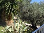 Path to the beach through our olive grove.