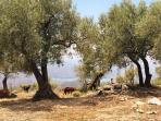 De geitenhoeder met zijn kudde in de buurt van Casa Lobera