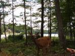 Deer roaming in your backyard