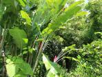 Lobster Claw Heliconia grow in the jungle