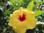 Many varieties of hibiscus can be found around the property
