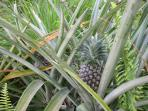 Pineapples are growing next to the house