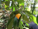 Tangerine tree next to driveway