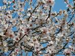 Almond blossom, the scent is awesome.