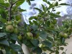 Apples ripening