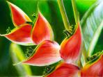 Beautiful Heliconia