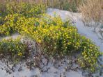 Sand Dune Flowers