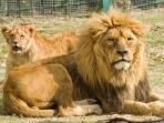 Pareja de leones en el parque