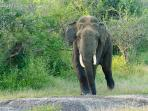 Bull elephant at Yala