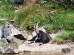 Wild Goats on Loch Lomond