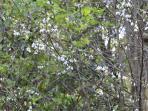 Silver Bells in Bloom