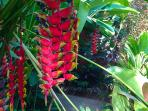 Blooming heliconia all year round in our garden