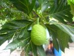 Jamaica Breadfruit on tree