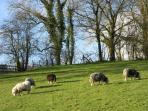 Sheep in Hallcliffe Meadow, the sloping field at the back of the cottage.